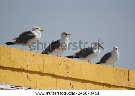 Gulls in the fishing town of Essaouira - stock photo