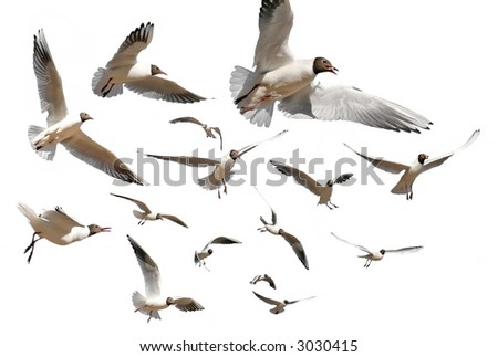 gulls isolated on white