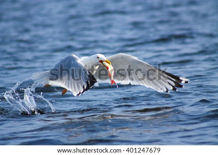 Gulls prey. This gull caught a fish and eats it immediately - stock photo