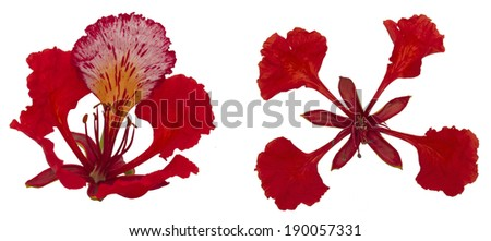 Gulmohar flower in white background.  A gulmohar tree is an ornamental tree that is scientifically called Delonix regia. The Gulmohar tree, also known as Flamboyant tree, is a bright red flower. - stock photo