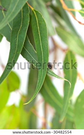Gum leaves with white background.  Blurred background, with soft focus on front leaves. - stock photo