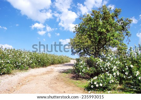 Gum rockroses  in the  field of Alentejo, Portugal  - stock photo