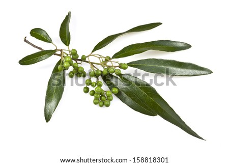 Gum Tree Leaves and Fruit  - stock photo