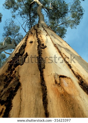 gumtree from bottom perspective - stock photo