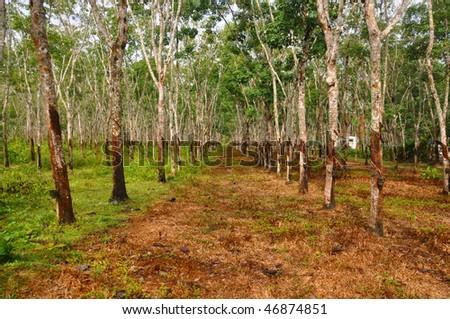 Gumtree Plantation on Langkawi Island in Malaysia. - stock photo