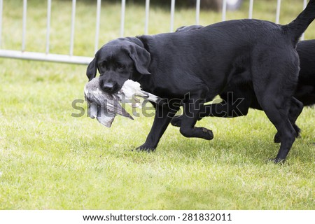 Gun dog carrying a dead bird. - stock photo