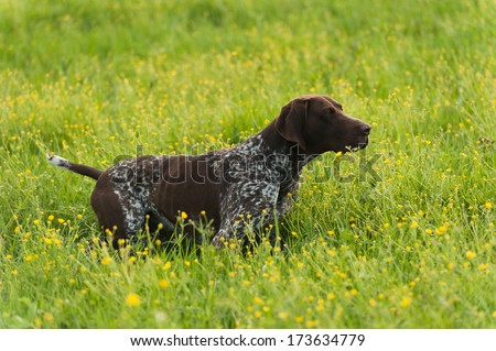 Gun dog on green grass, horizontal, outdoors - stock photo