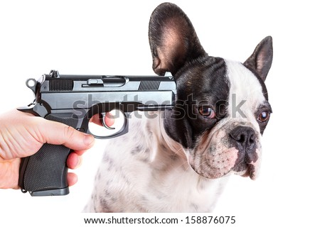 Gun pointed at sad french bulldog head over white background - stock photo