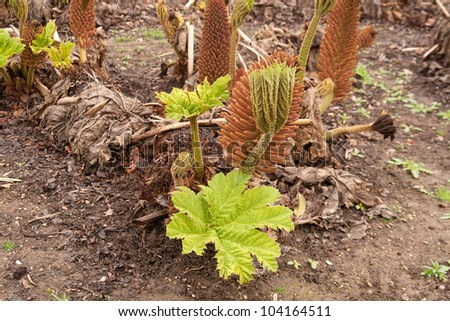 Gunnera starting to show signs of growth in early spring