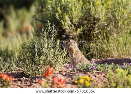 Gunnison's Prairie Dog emerges from his burrow, surrounded by wildflowers in New Mexico's Sangre de Cristo Mountains, a part of the Rocky Mountains - stock photo