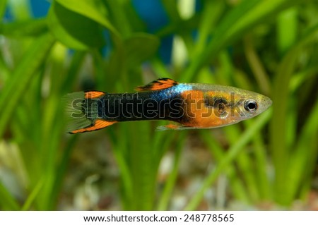 Guppy fish - stock photo