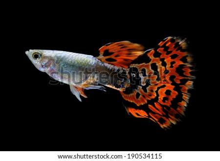guppy fish  isolated on black - stock photo