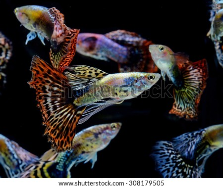 guppy fish isolated on black background  - stock photo