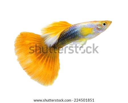 guppy fish isolated on white background - stock photo