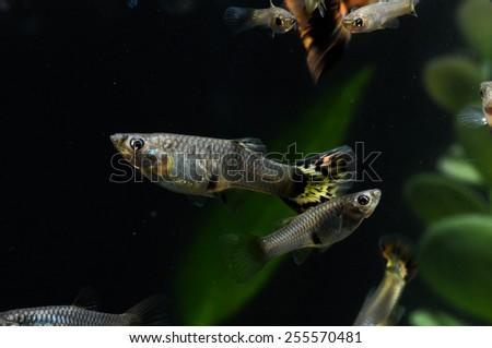 Guppy Multi Colored Fish in a Tropical Aquarium - stock photo