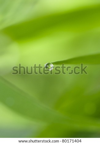 Guttation - Water Droplet Secretion on the Edge of Leaf of Some plants - stock photo