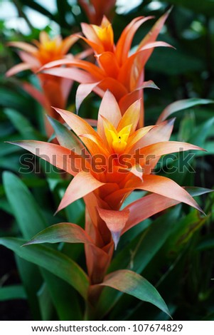 Guzmania flowers, called scarlett stars, in garden
