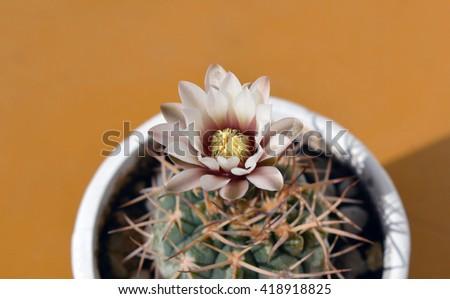 Gymnocalycium riojense ssp. kozelskyanum cactus blooming in spring - stock photo