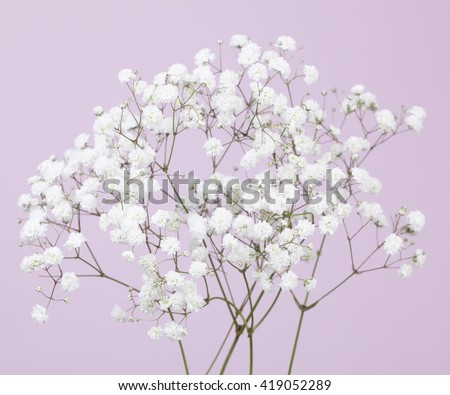 Gypsophila (baby's-breath) flowers on a light lilac color background  - stock photo