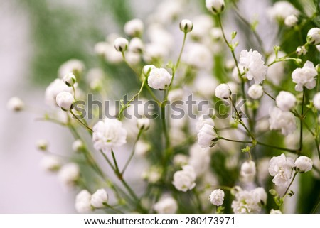 Gypsophila - plant with small white flowers, used for floral arrangements - stock photo
