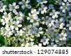 Gypsophila repens - of flowering plant of the family Caryophyllaceae, native to the mountains of central and southern Europe - stock photo
