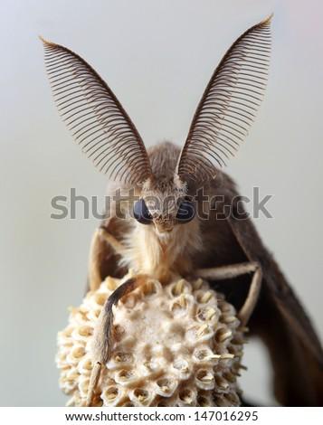 Gypsy moth butterfly on dry dandelion - stock photo