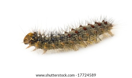 Gypsy moth caterpillar - Lymantria dispar in front of a white background - stock photo