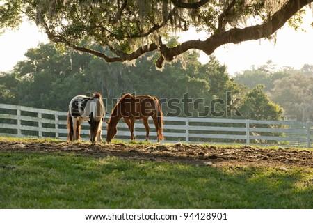 Gypsy Vanner horse equine baby - stock photo