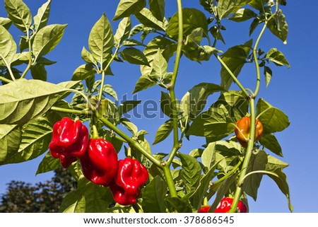 Habanero plant with fruit against the blue sky. The Habanero chili (Capsicum chinense) is one of the most intensely spicy species of chili peppers of the Capsicum genus.    - stock photo