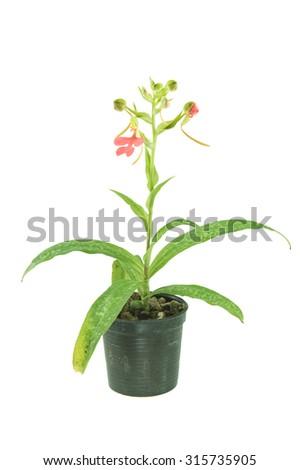 Habenaria flower plant isolate on white background - stock photo