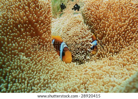 Haddon's Anemone and Anemonefish - stock photo