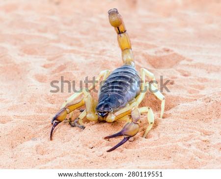 Hadrurus arizonensis, the giant desert hairy scorpion - stock photo