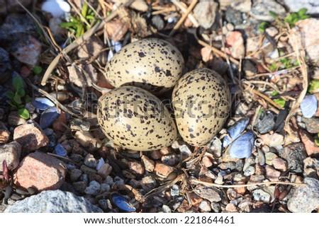 Haematopus ostralegus, Eurasian Oystercatcher. Eggs and nest. The photo was taken in the Kandalaksha Gulf of the White Sea. Russia, Murmansk region. - stock photo