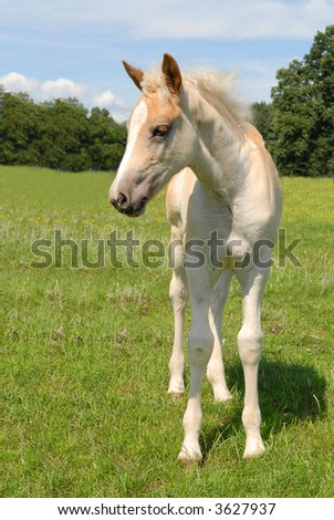 haflinger filly in a green meadow in summer - stock photo