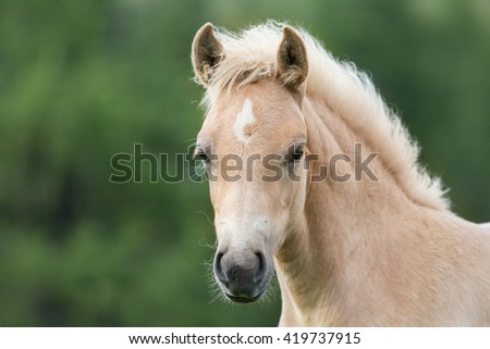 Haflinger foal, South Tyrol, Italy