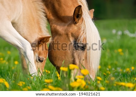 Haflinger horses, mare and foal grazing together in a pasture - stock photo