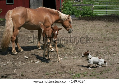 haflinger mare and filly and jack russell terrier