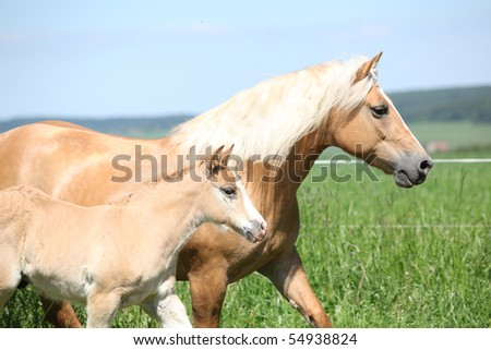 Haflinger mare with a foal - stock photo