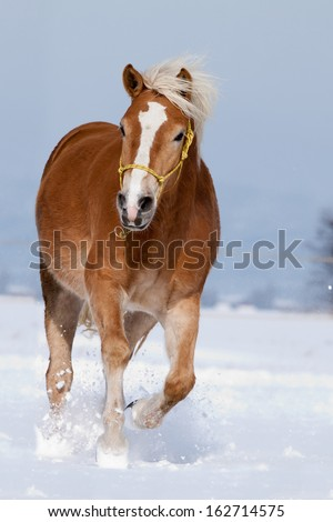 Haflinger moves along a snowy pasture - stock photo