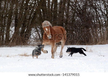 Haflinger playing with two dogs on a snowy pasture - stock photo