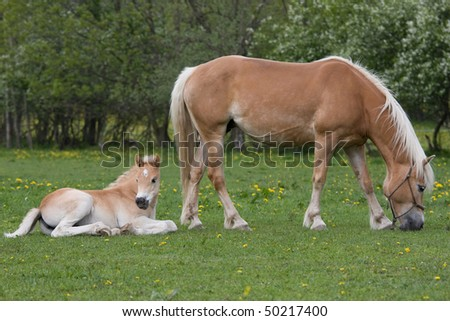 Haflinger pony mare with nice foal - stock photo
