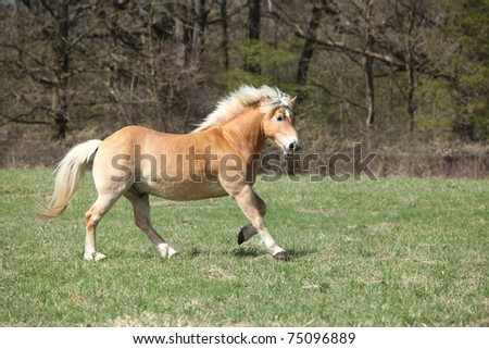Haflinger running - stock photo