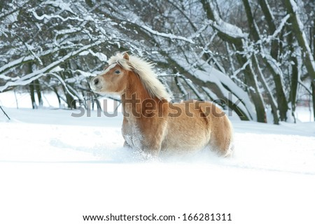 Haflinger with long blond mane running in the snow