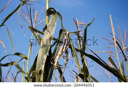 Hail damage of corn - stock photo