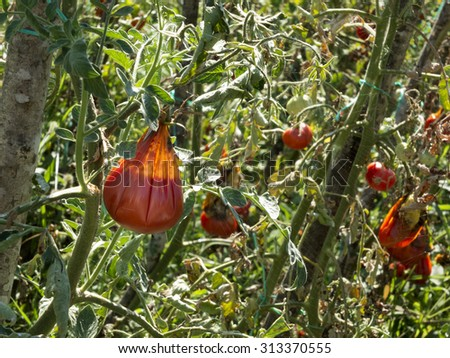 Hail Damaged  Tomatoes with mold decaying on a garden tree 1 - stock photo