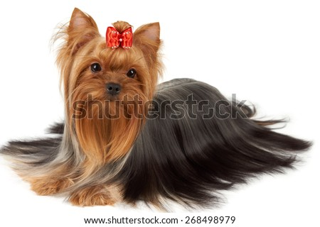 Hair of this purebred Yorkshire terrier is groomed by professional breeder. Its head is bright red with bow on top.                       - stock photo