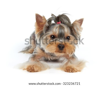 Haircut Yorkshire Terrier lies on white background                               - stock photo
