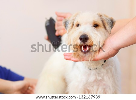 Hairdresser mows fox terrier fur on the back with a trimmer - stock photo