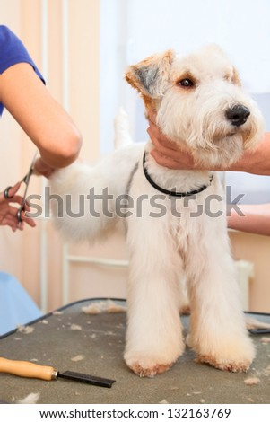 Hairdresser mows fox terrier hair on the hind paw