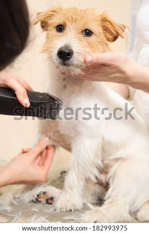 Hairdresser mows Jack Russell Terrier fur on the chest with a trimmer